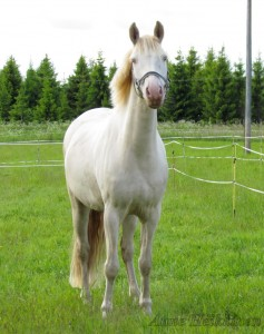 Arttu poni laitumella